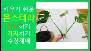 몬스테라 번식 : 공중뿌리 나왔을때 가지치기와 수경재배