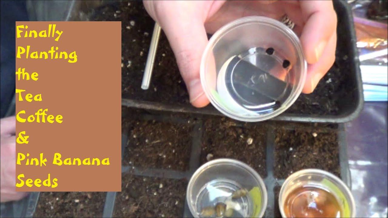 how to make banana peel tea for plants