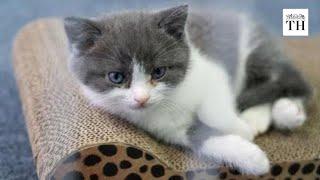 China's first cloned kitten
