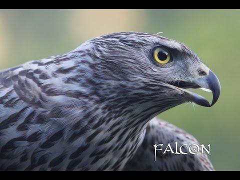 Fly Falcon Fly. Vuela Halcon Vuela.