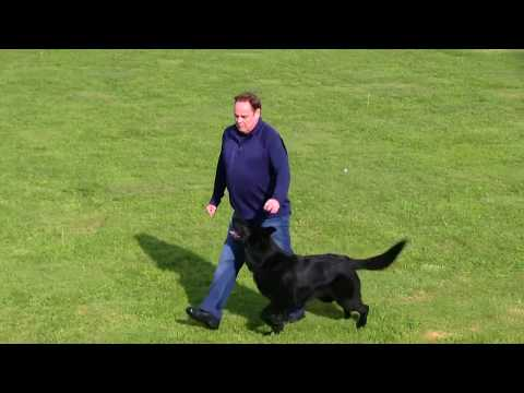 Kraftwerk K9 Best Jet Black Male in America! Just two years old with IPO3 and unforgettable looks!
