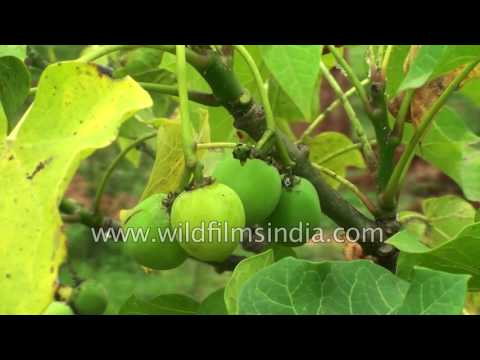 Jatropha curcas - cultivable hope for future biodiesel products