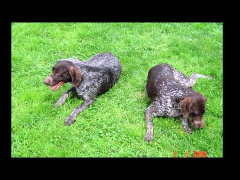 beautiful pictures German Shorthaired Pointer dog breeds