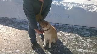 """Обучение собаки породы Акита Ину команде """"Рядом"""" и """"Нельзя"""""""