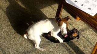 Doberman Pinscher Puppy And Jack Russel Playing
