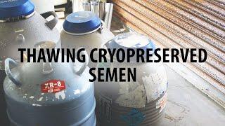 How to thaw frozen ram semen