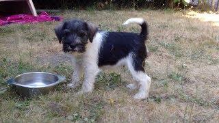 8 Week Old Miniature Schnauzer Puppies (3 Legged Pup!)