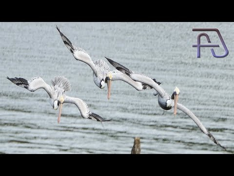Synchronized Pelicans Dive-Fishing Along With Seagulls And Other Birds At Dunedin, Florida