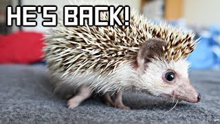 The Internet Brought My Hedgehog Back To Life!