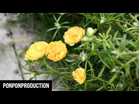 How to plant MOSS ROSE | PORTULACA GRANDIFLORA | JAPANESE ROSES