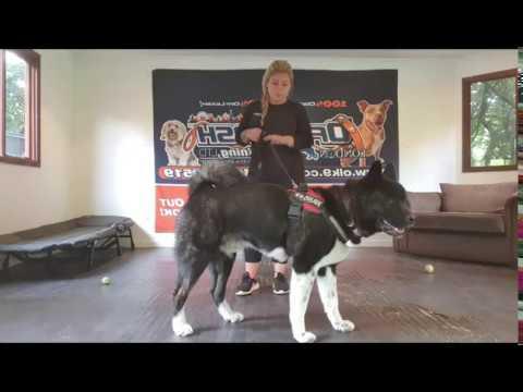 Dog Reactive American Akita | Louis | Off Leash K9 Training London