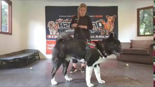 Dog Reactive American Akita   Louis   Off Leash K9 Training London