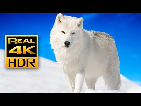 Красивые зимние животные в 4K HDR 🐺❄️ Арктические волки и песцы — Расслабляющая музыка.
