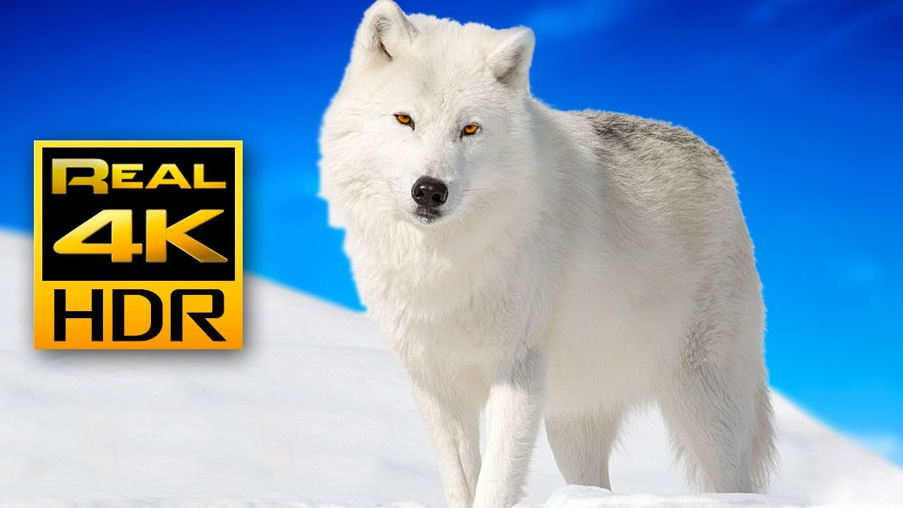 Majestic Winter Wildlife in 4K HDR ?❄️Arctic Wolves, Foxes and More | Relax Music 4K TV Screensaver