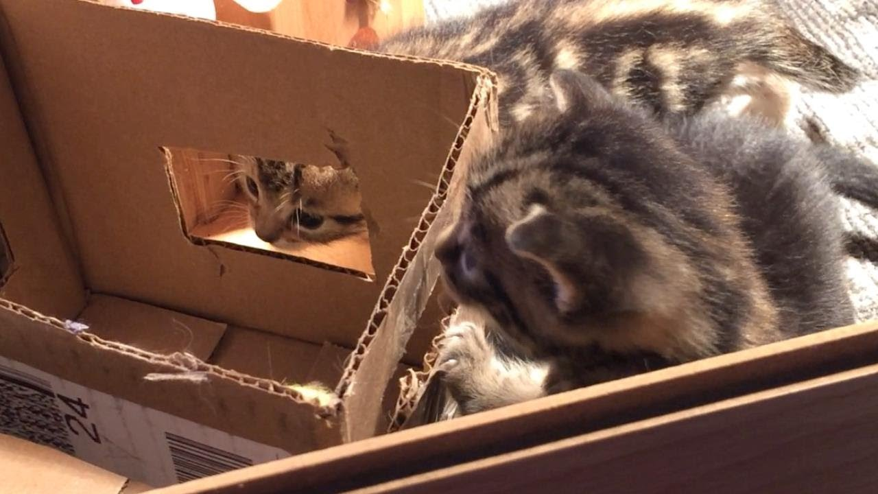 Cat interlude 06-29-2020 - Little kittens explore cardboard box for the first time