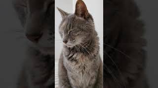 睡魔とたたかう猫 #Shorts #猫 #カワイイ