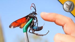 Repeat youtube video STUNG by a TARANTULA HAWK!