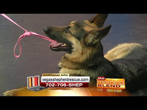 Adopt Truffles From Vegas Shepherd Rescue