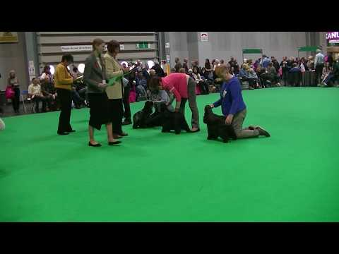 Cocker Spaniel in Crufts 2018 d