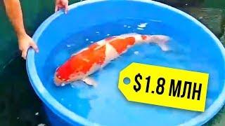 Почему рыба кои стоит так дорого?