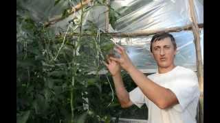 Формировка высокорослых и среднерослых томатов(Формировка (пасынкование и тактика) индетерминантных и полудетерминантных помидоров. Мои страницы: http://vk.c..., 2012-07-02T08:45:54.000Z)