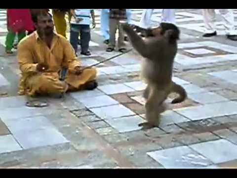 Punjabi monkey funny