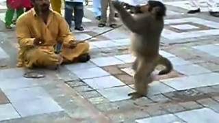 funny clip punjabi totay monkey carteb