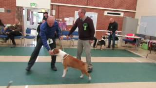 Romany Trophy 2016 Coloured Bull Terrier Club Trophies and Open Show  Judge Chris Wright Rightstuff