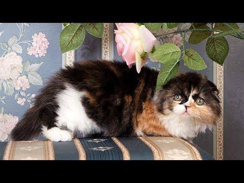 Хайленд Фолд - Шотландская Вислоухая Длинношерстная Кошка   ПОРОДЫ КОШЕК