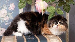 Хайленд Фолд - Шотландская Вислоухая Длинношерстная Кошка | ПОРОДЫ КОШЕК