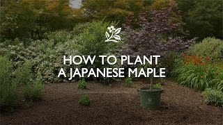 How to Plant a Japanese Maple | Monrovia Garden