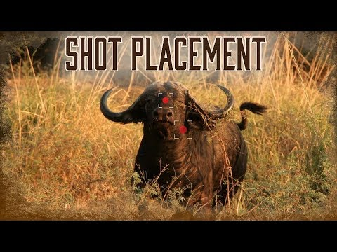 Best Shot Placement On African Buffalo   6