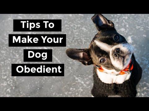 are-boston-terriers-stubborn?