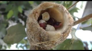2016 02 09 Bella Hummingbird Nest 2nd Hatch