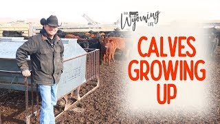 the-feeding-tractor-and-the-feeder-calves