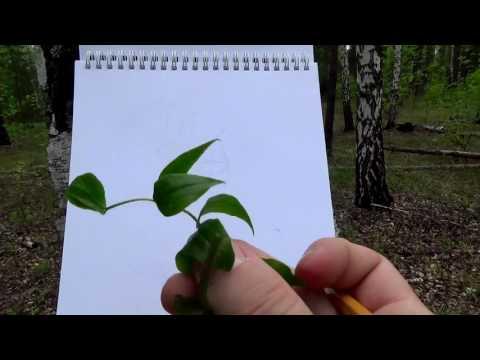 Чина весенняя - Lathyrus vernus - Описание таксона