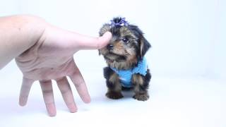 A.K.C Registered Teacup Male Yorkie Puppy By PuppyHeaven.com