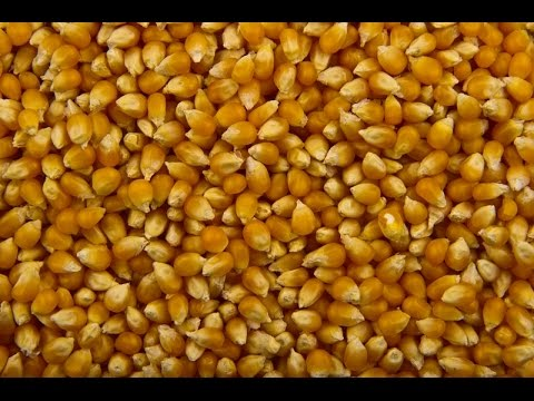 Пьяная Кукуруза для ловли Амура и Карася! Простая Ферментация!