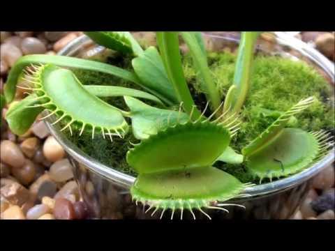 Dionea la pianta carnivora che mangia delle mosche for Pianta carnivora dionea