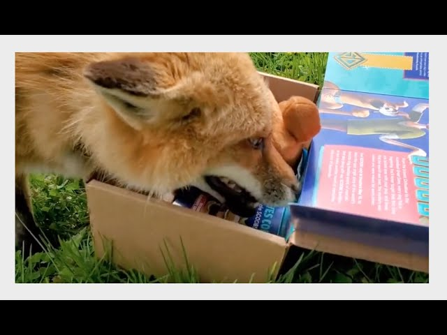 Each Fox gets a BarkBox Surprise!