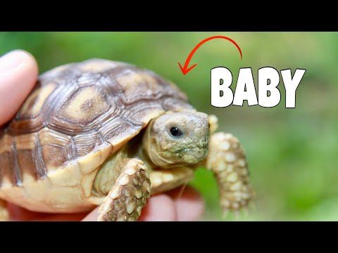 Getting READY FOR HUNDREDS OF BABY TORTOISES!! (Breeding)