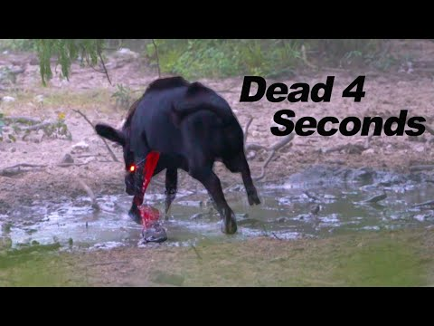Big Boar Dies in 4 Seconds   New Broadhead, SUPER SLO MO 4K