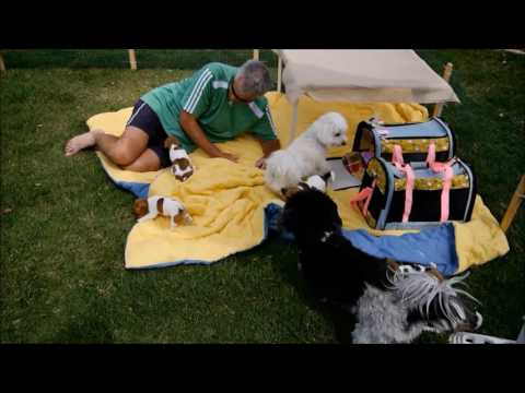 havanese-and-coton-de-tulear-playing-with-six-week-old-jack-russell-puppies