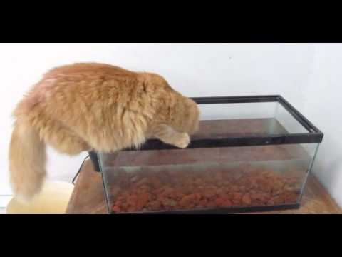 Cat falls in fish tank youtube for Fish videos for cats