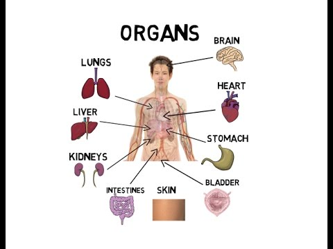 Organs of the body - YouTube