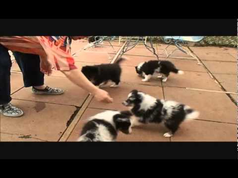 Funny Sheltie Puppies So Cute Blue Merle And Tri Puppy AKC Ch. Sire