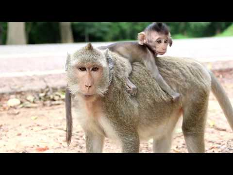 Amazing Monkey Group Mating around Angkor Wat Temple - Funny Monkey Meeting 2017