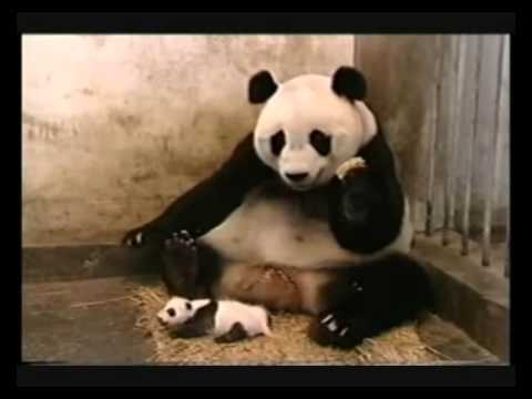 Baby Panda Sneezing