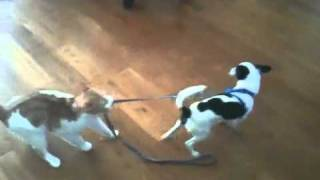 Cat drags dog