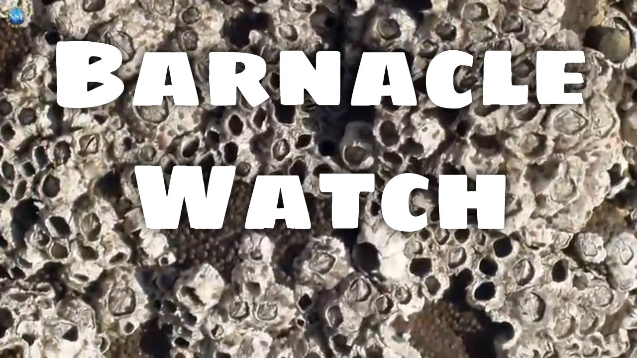 How do barnacles survive environmental changes?